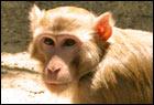 Non-human primates