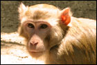 Primates non humains