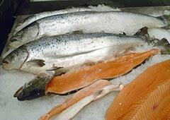 Transgenic salmon home