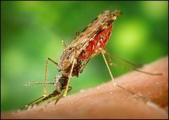 Paludisme Page d'accueil