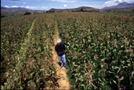 Farmer in a field of maize in Bolivia
