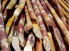 Sugar cane is one of the feedstocks for making biofuels