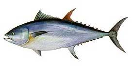 Grand thon rouge (Thunnus thynnus)