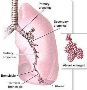 external image bronchi-bronchioles-alveoli.jpg