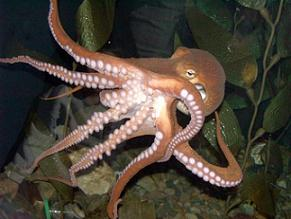 Glossary: Cephalopods