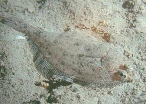 The flatfish is an example of groundfish