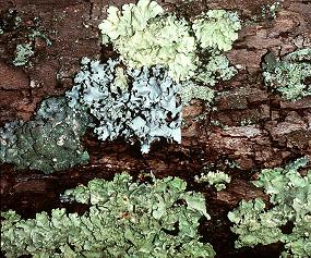 Foliose lichens on a tree trunk