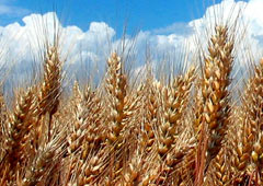Genetically Modified Crops home