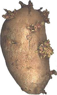 Potatoes are examples of tubers
